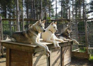 Huskies © NTT